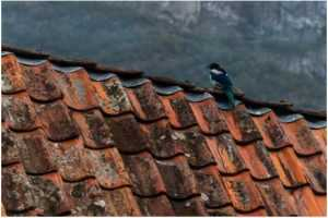 5 Signs That Birds are Nesting in Your Roof